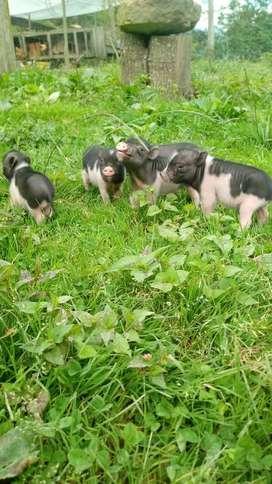 Cerdo cria . Mini Pig. Marrano