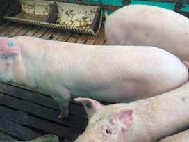 cerdos machos capados