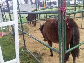 Pony macho a la venta