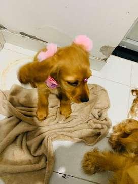 Se vende hermosa cachorra cocker spain de cuatro meses