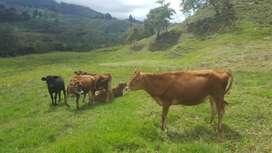 Vendo vacas lecheras. Novillas Jerhol excelente genética