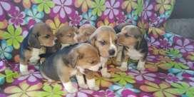 Se venden. Hermosas cachorras y cahorros beagles originales raza puro