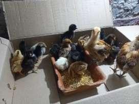 Se venden pollitos criollos