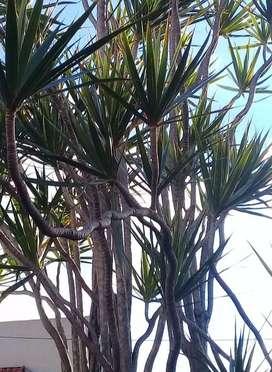 Planta de Dracena Marginata