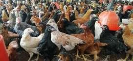 Venta de pollas huevo azul 60-70%