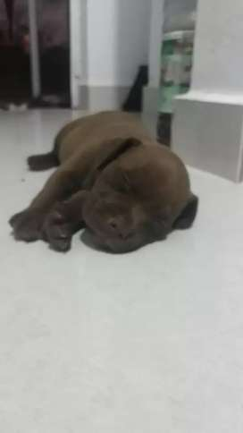 Vendo pitbull blue puros machos