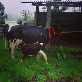 Vendo vaca holstin mongola con cría vacona
