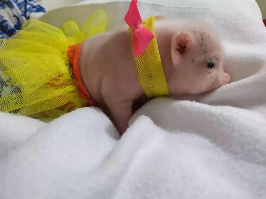 Hermosa mini pig 0