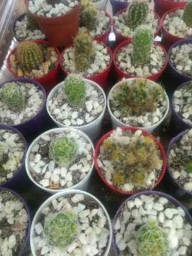 Cactus x 1500