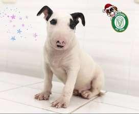 Hermosos cachorritos Bull Terrier en Pet Vital