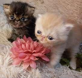 Gata persa exótica y gato persa extremo