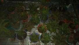 Aloe vera con maceta
