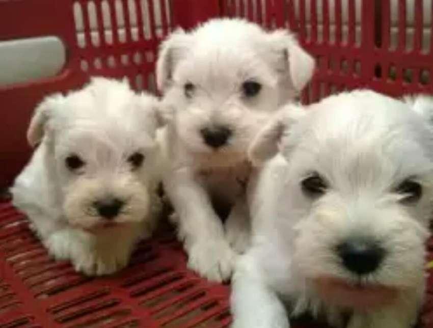 Cachorros Esnauzer Miniatura 0998785181 0