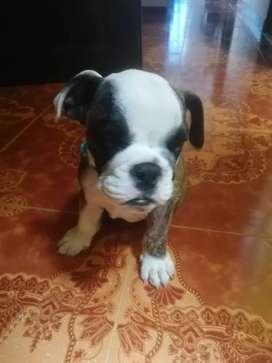 Hermoso cachorro  bulldog inglés 2 meses y medio