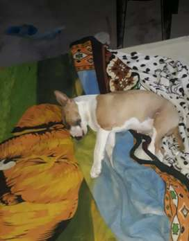 Último Cachorro Bull Terrier
