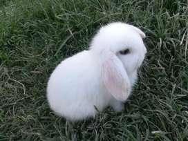 Conejos Holland lop