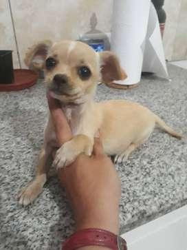 Chihuahua hembra a $10.000