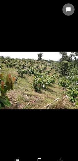 Vendo Hacienda Cacaotera Y Palmera 500k