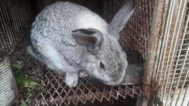 Conejos machos de 7 meses a 1 año