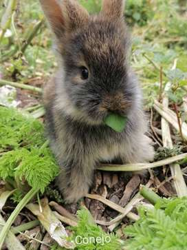 Se venden conejos cabeza de león tricolor