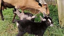 Cabras Para cría y leche