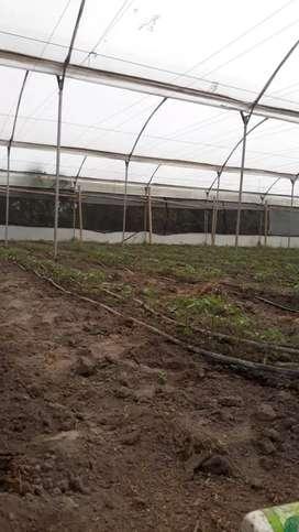 Se Vende 4500 metros de invernadero con 14000 plantas de tomate 2199 Kalel