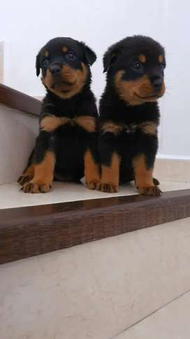 Espectaculares hembras rottweiler soy muy bellas