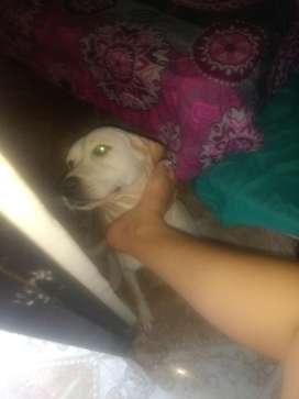 Labradora Busca Novio Urgente