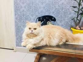 Gato persa macho para monta