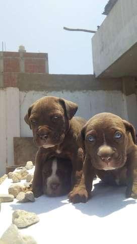 hermosos cachorros rasa pitbul