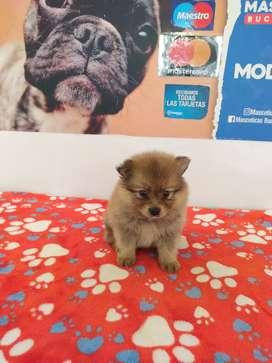 Bkrest Pomeranias mini