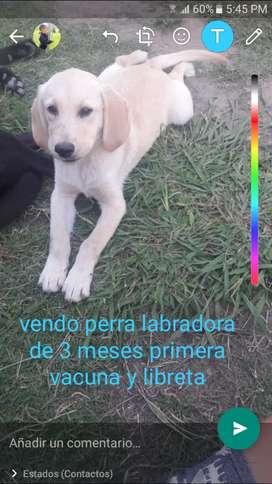 Labrador de 3 meses ahora el 9 de marzo cumple 4