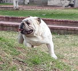 Bulldog Inglés con Pedigree disponible para montas