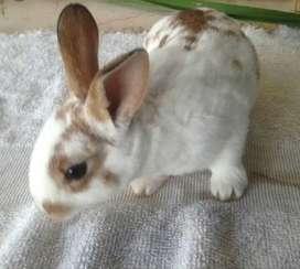 Conejos antialergicos