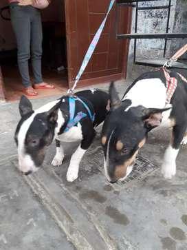 Vendo mis perritos bull terrier Inglés tricolor de 9 meses hembra y machos ,son hermanos a S/1500 a tratar.