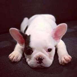 Gorditos bulldog frances macho... 46 dias de edad.