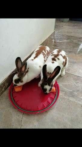 Dos preciosos conejos antia lergicos