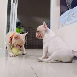 tiernos bebes cachorritos bulldog frances de 54 dias