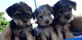 VENDO PERRITOS YORKSHIRE