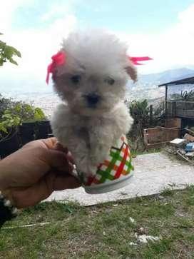 Cachorros French poodle minitoy tacita de te 18 cm en adultos garantizados