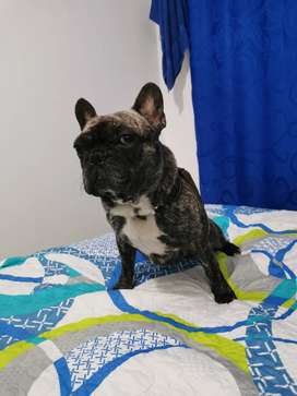 Bull dog francés busca novia