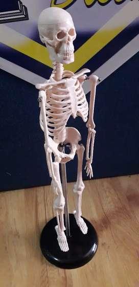 Modelo anatómico de esqueleto humano, de 95cm y mucho más para Medicina