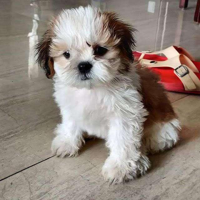 shitzu bebes cachorros hermosos 56 dias tiernos bebes