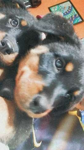 Cqchorro rottweiler raza pura