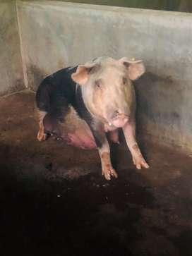 Se vende cerdos en pie