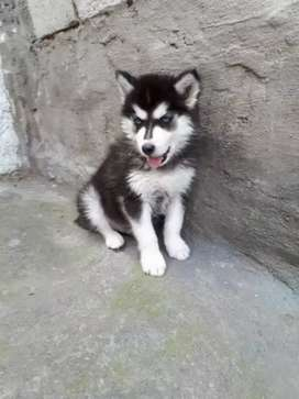 Divinos perros lobos siberianos a la venta