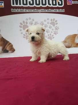 De raza pura cachorros westy Highland