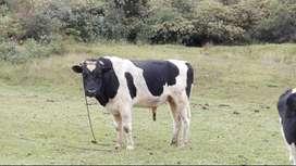 Oicata Boyacå venta de Novillas Holstein