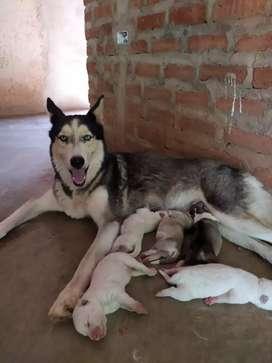 Husky siberiano  machos y hembras