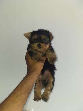 Mini yorky macho